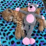Отзыв - Котёнок рыси
