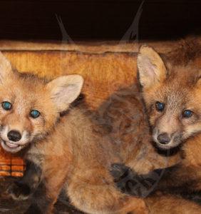 Продажа молодняка лисицы «Красная»