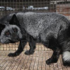 Лисица (Серебристо-чёрная)